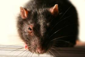 Beaten By Rats? Beat Back by Understanding Their Intelligence and Behavior Traits
